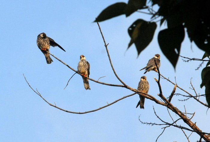 Amur falcons arrived in large numbers and roosting at pangti village in Wokha district of Nagaland on 17th October 2014. Photo by: Subhamoy Bhattacharjee/Willdlife Trust of India