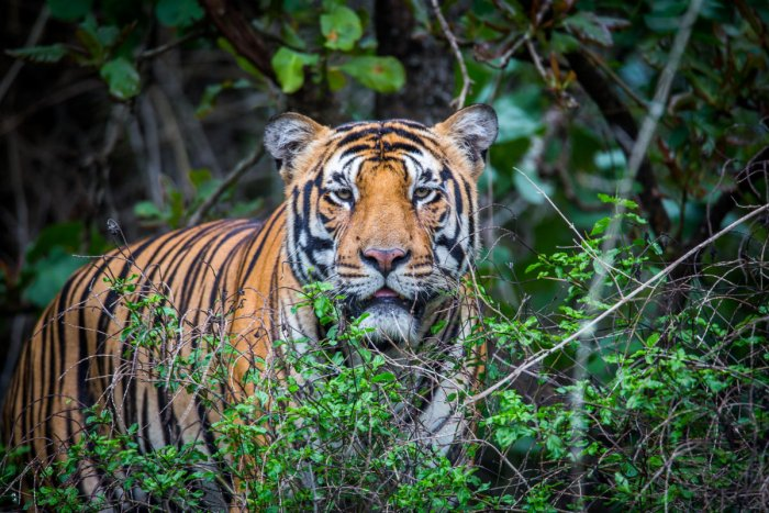India is home to more than half of the world's tiger population with 2,226 of the animals roaming its reserves, according to the last count in 2014.