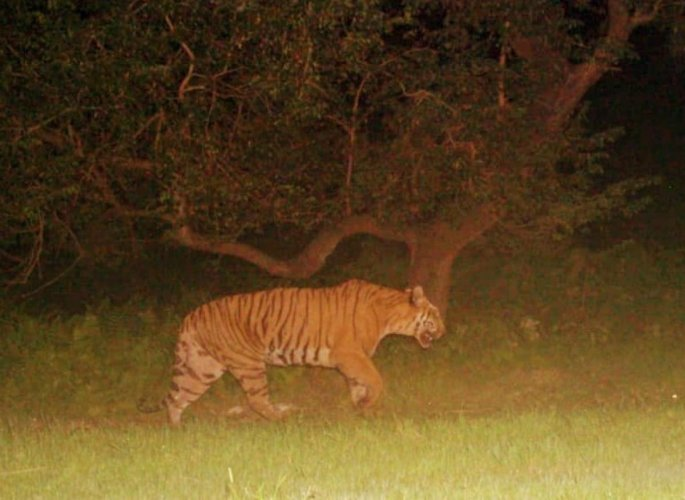 F-03, the Royal Bengal tigress, camera trapped in December last year. photo credit/Dhansiri forest division, Assam.