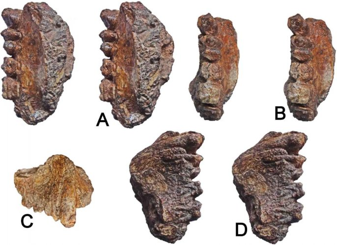 The fossilised jaw of Sivapithecus found in Kutch.