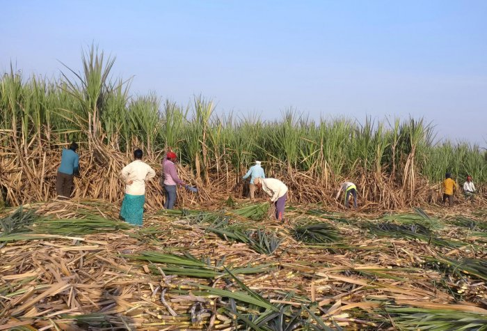 Sugarcane production has been good and the crop has hit the market on time for the first time in the last three years. Reuters file photo