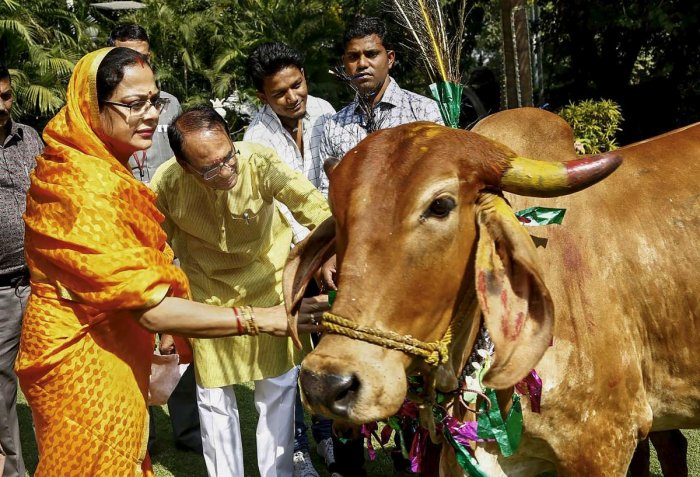 Madhya Pradesh Chief Minister Shivraj Singh Chouhan and his wife Sadhna Singh offer food to a cow during 'Govardhan Puja' at his residence in Bhopal on November 08, 2018. PTI