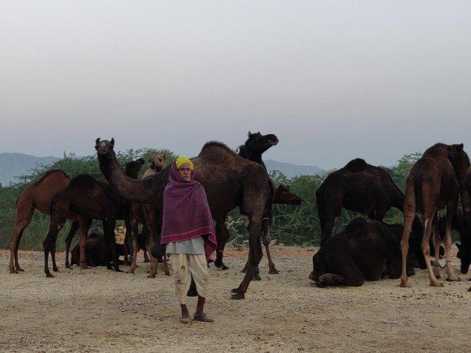 Pushkar camel mela. Photos/ Tabeenah Anjum.