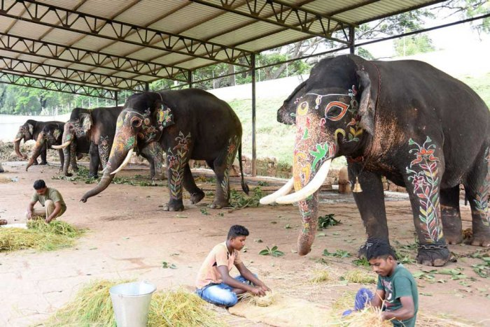 Ashoka is the missing elephant. Ashoka, along with Dasara elephants Abhimanyu and Krishna, was part of the tiger rescue operation. The elephant is missing since it was freed for grazing. (DH File Photo)