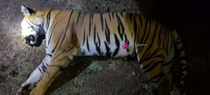 Tigress Avni.