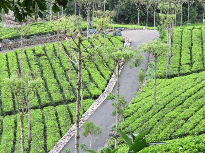Tea gardens in Kotagiri