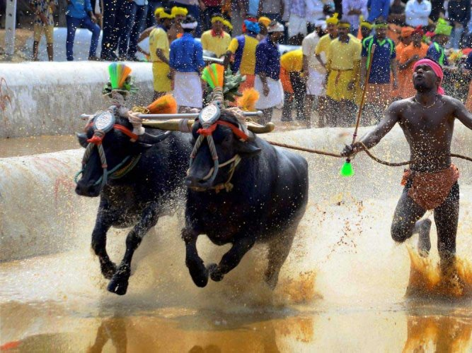 In its petition, PETA India challenged the validity of the Prevention of Cruelty to Animals (Karnataka Second Amendment) Act, 2017 which allowed 'Kambala' events and other buffalo races in the state. PTI file photo