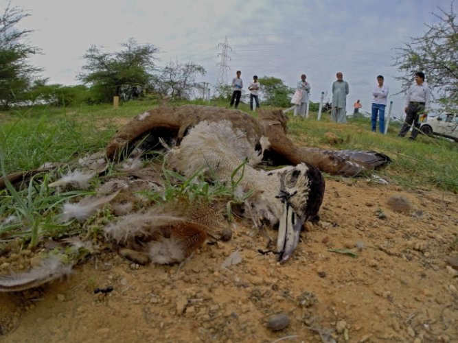 A GIB that collided with high-tension power lines and was electrocuted near the Kutch Bustard Sanctuary in Gujarat.
