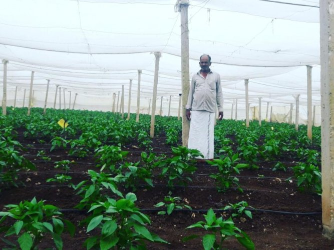 Parameshwarappa with his plants inside a polyhouse at Devanoor village in Kadur.