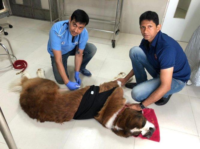 Dr Ramesh Jangra, senior Veterinary surgeon, Cessna Lifeline Veterinary Hospital performed gastropexy on eight-year-old