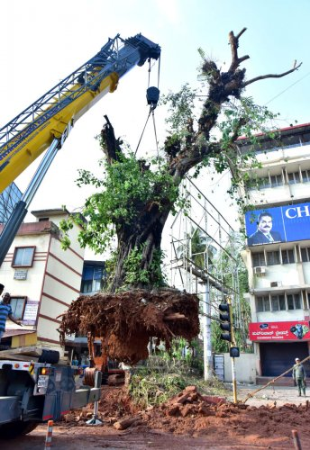The 100-year-old peepal tree that was relocated from Bunts Hostel Road in Mangaluru recently.
