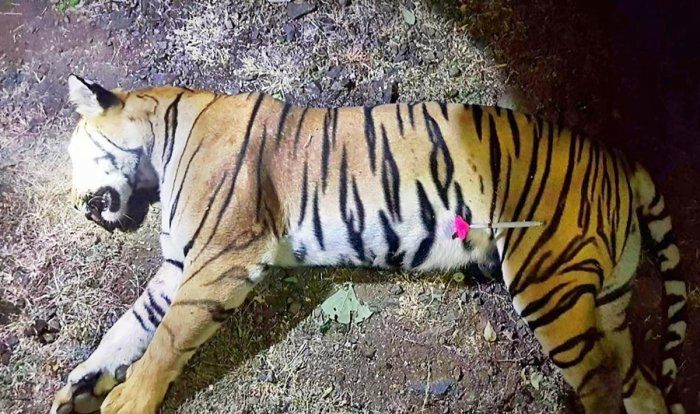 Five days after tigress Avni was shot dead, the Maharashtra government has ramped up efforts to secure her cubs. PTI file photo