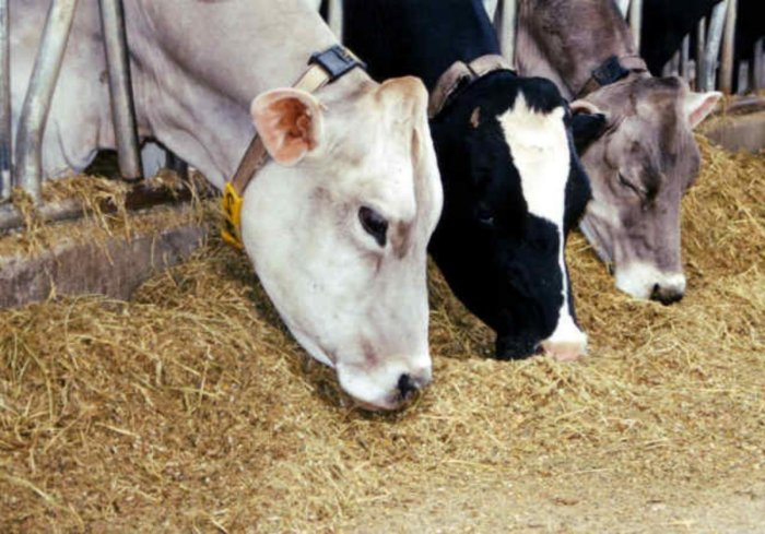 Cows would be distributed free of cost every year at the time of festivals and other celebrations, the manifesto said. File photo