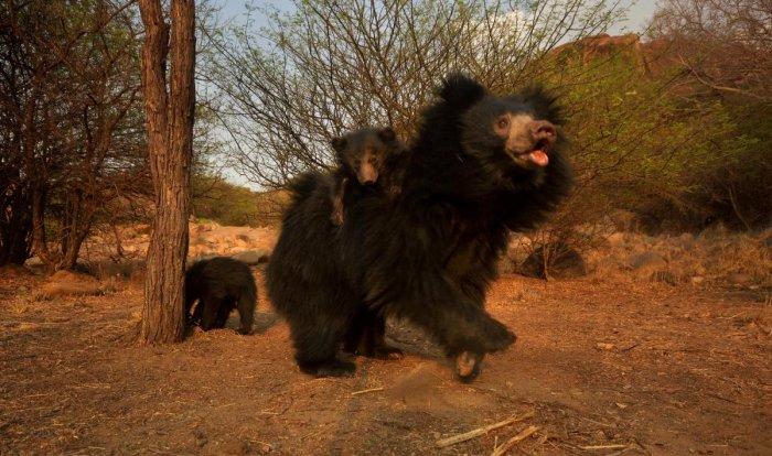 Gudekote Sloth Bear Sanctuary - Photos by Arun S K