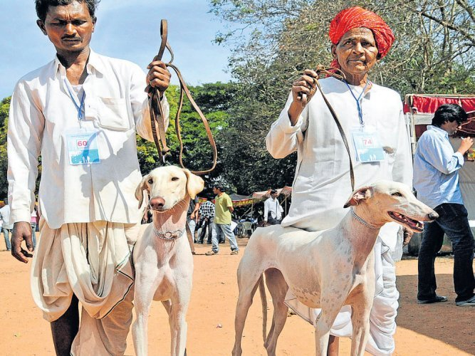 Mudhol hounds are a favourite at dog shows across the country. DH FILE PHOTO
