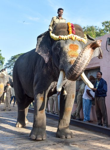 Howdah elephant Arjuna is weighed at weigh bridge in Mysuru on Thursday. dh photo