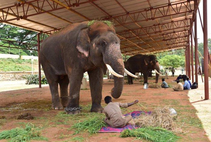 Dasara elephant being fed with special diet food, at Mysuru Palace premises, in Mysuru. DH FILE PHOTO