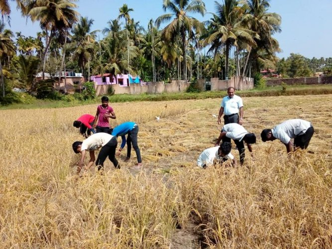 Students of Kittel Memorial PU College in Gorigudda harvesting paddy at Baarde near Ambika Road on the outskirts of Mangaluru.