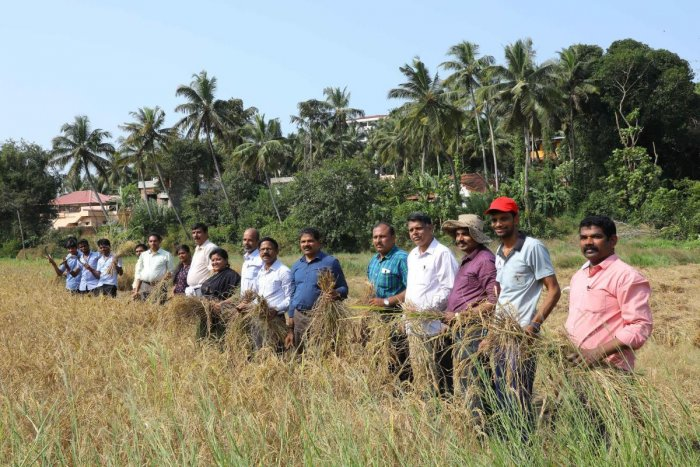 DK PU College Principals Association members and lecturers take up paddy harvesting at Baarde in Ambika Road on the outskirts of Mangaluru on Tuesday.