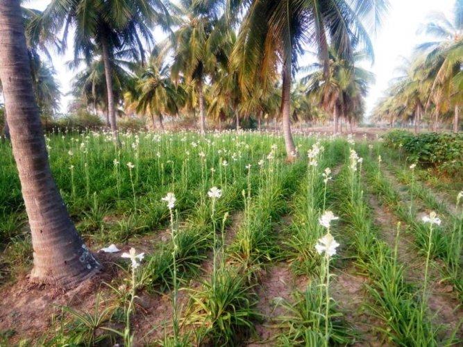 Sugandharaja flowers cultivated amid coconut groves at Kallapura in Ajjampura.