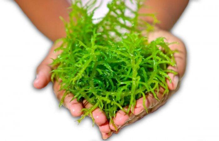 Seaweed has anti-ageing properties