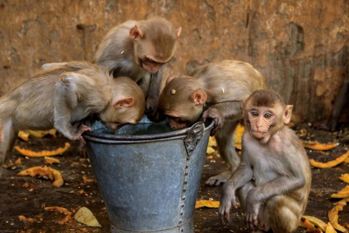 Natives in the hill state refuse to fire at monkeys citing reasons surrounding mythology, religion and even superstition. They believe the animal is venerated as a follower of Lord Hanuman. (PTI File Photo for representation)