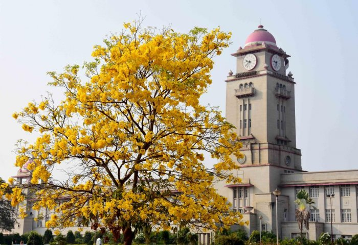 A golden shower tree in full blossom in the Karnatak University campus in Dharwad, enchanting the visitors. DH Photo/B M Kedarnath