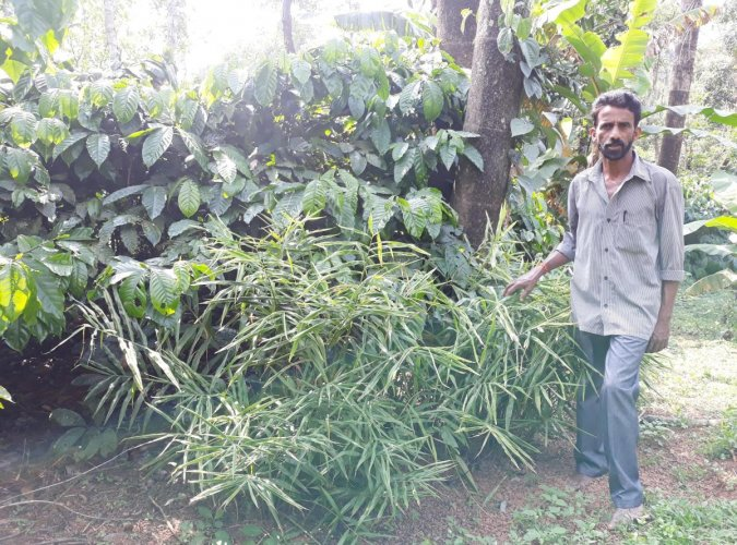 Farmer Suresh Gowda cultivated ginger amid coffee plants.