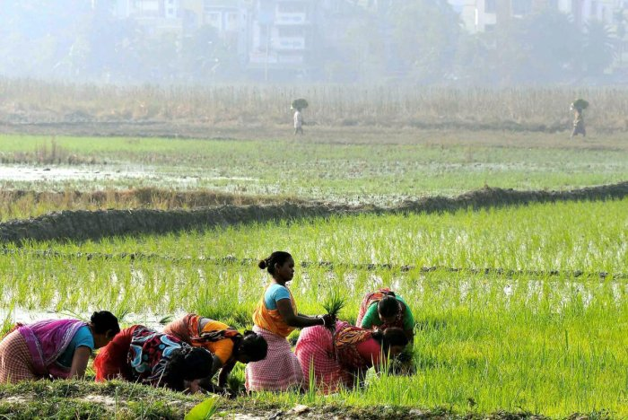 Farmers plant paddy saplings in a field as the Boro paddy season starts, in the outskirts of Kolkata. PTI