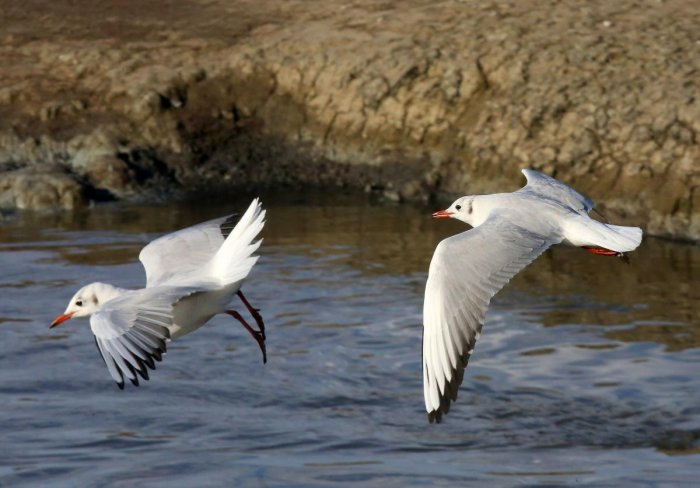 Nine water bodies, where the water birds flock in considerably large numbers, have been earmarked for the census, divsional forest officer (DFO), Bundi, Phralad Rai Badgurjar said. AFP File photo for representation.
