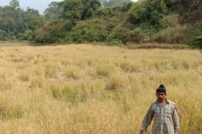 Wild boars damaged the standing paddy at Yavakapady.