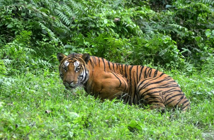 An Indian Bengal tiger looks on in a forest clearing in Kaziranga National Park. AFP file photo.