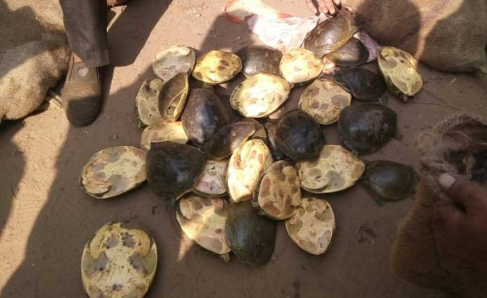 According to CID officials 689 soft shell river turtles were seized from the four accused. Photo Credit: West Bengal CID