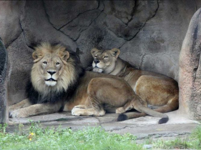 A man in his mid-twenties was mauled by lions inside the Chhatbir Zoo in Punjab's Zirakhpur, some 22-km from capital city Chandigarh. PTI file photo for representation only