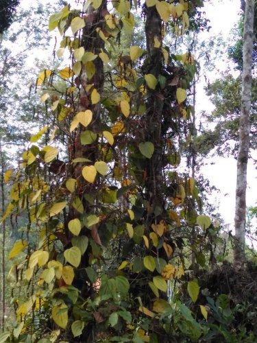 Pepper vines, affected by 'Soragu' disease, in one of the plantations in Napoklu in Kodagu district.