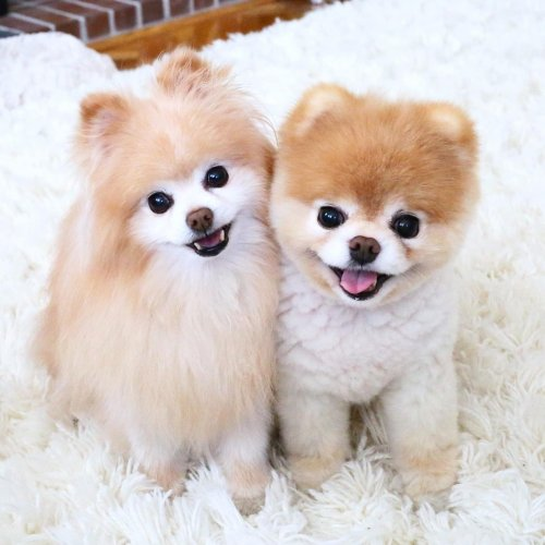 Boo (right) showed signs of heart trouble after Buddy's (left) death.