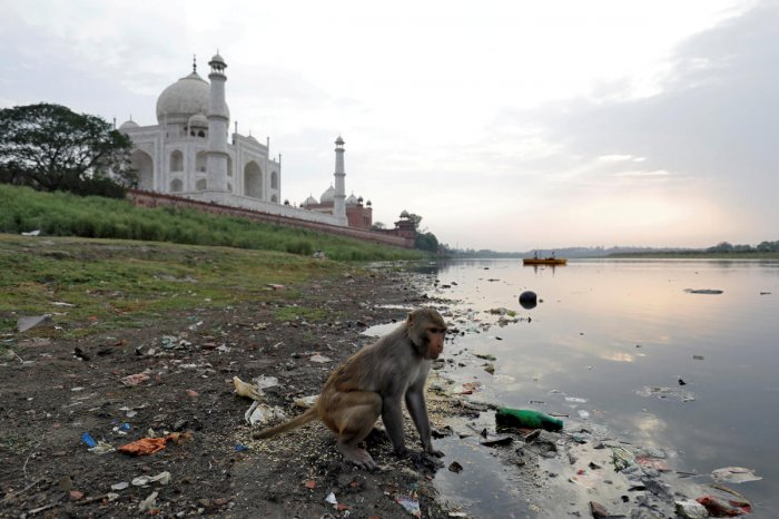 A monkey looks for eatables on the polluted banks of the Yamuna river next to the historic Taj Mahal in Agra. Reuters file photo