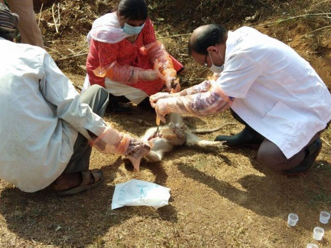 A team of Veterinarians conducting post-mortem on a monkey in Sagar taluk, Shivamogga district. DH photo