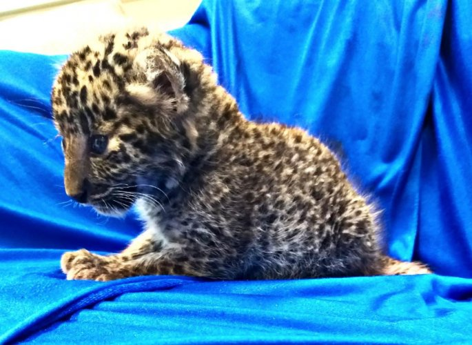 A leopard cub after it was seized from checked baggage of a passenger travelling from Bangkok, at Chennai International airport. AFP photo