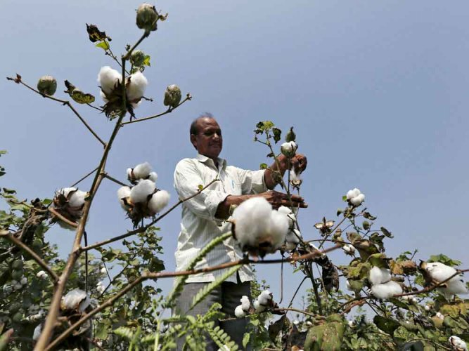 Since the introduction of Bt cotton in 2002, the Indian government didn't allow marketing of any other GM crop seeds partly due to a strident anti-GM campaign with the activists influencing the policymakers and approaching the courts with their plea. (Reuters File Photo. For representation purpose)