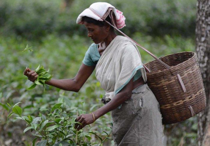 A women worker plucking tea in a garden in Assam's Dibrugarh district. (Photo by Manash Das)