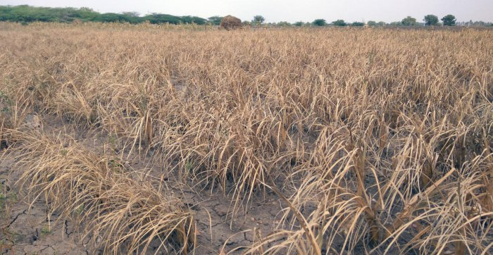 A contraction of 4.8% in the agriculture sector is estimated because of the drought situation prevailing across 156 taluks of the state due to scarcity of rain. (DH File Photo)