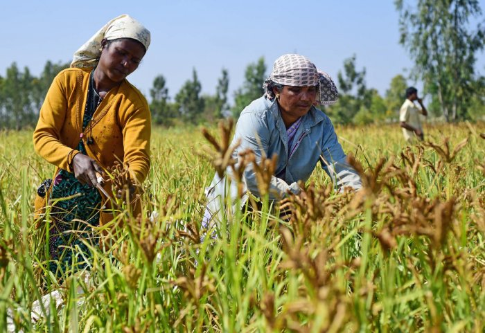 Under Raitha Siri, an assistance of Rs 10,000 per hectare will be directly transferred to the bank accounts of farmers growing minor millets. DH File Photo