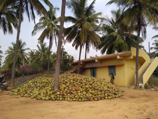 Coconut theft is a serious issue in the botanical garden spread over 152 acres on Hoskote Road.