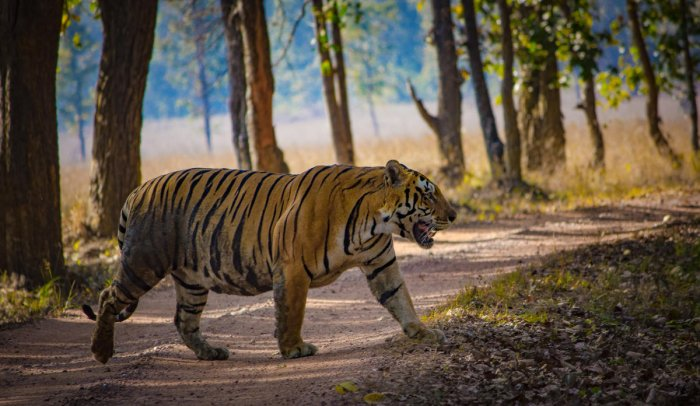 regal: A tiger at crossroads in Kanha Tiger Reserve, Madhya Pradesh. photos by author