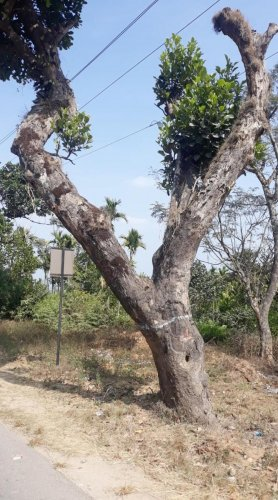 A tree identified for felling to facilitate the widening of the national highway from Handpost to Kottigehara in Mudigere.