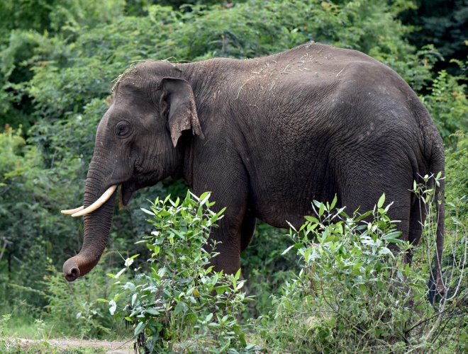 The Madras High Court said a decision on to keeping Chinna Thambi in captivity or letting him into the forests can be taken later while hearing a petition filed by People For Cattle in India (PFCI) seeking to restrain the Forest department from capturing,