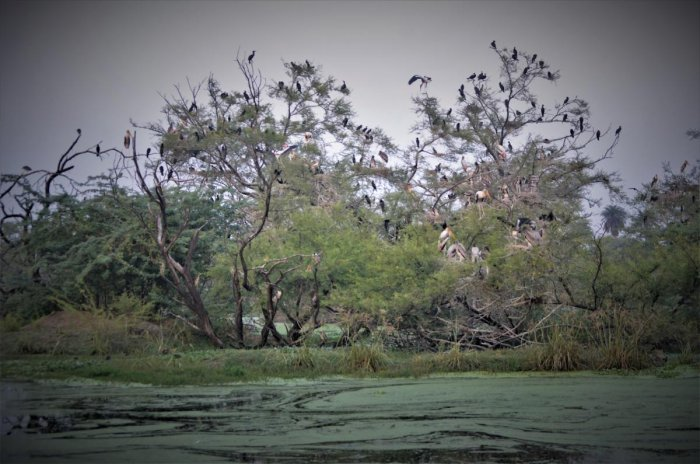 Nests and birds at Keoladeo National Park. PHOTOS BY AUTHOR