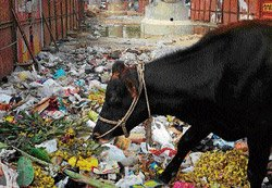 BBMP chews over bovine solutions for garbage crisis