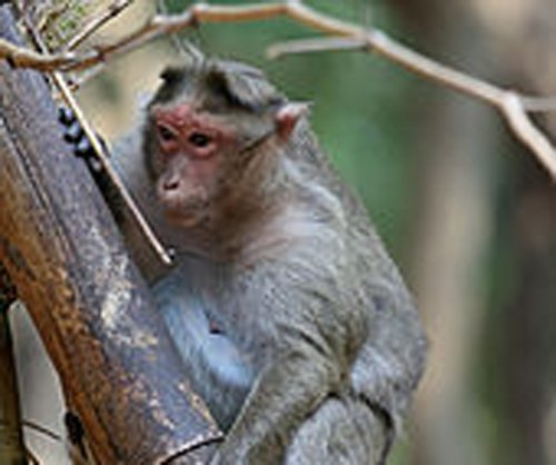 Stop monkeying around, residents tell BBMP